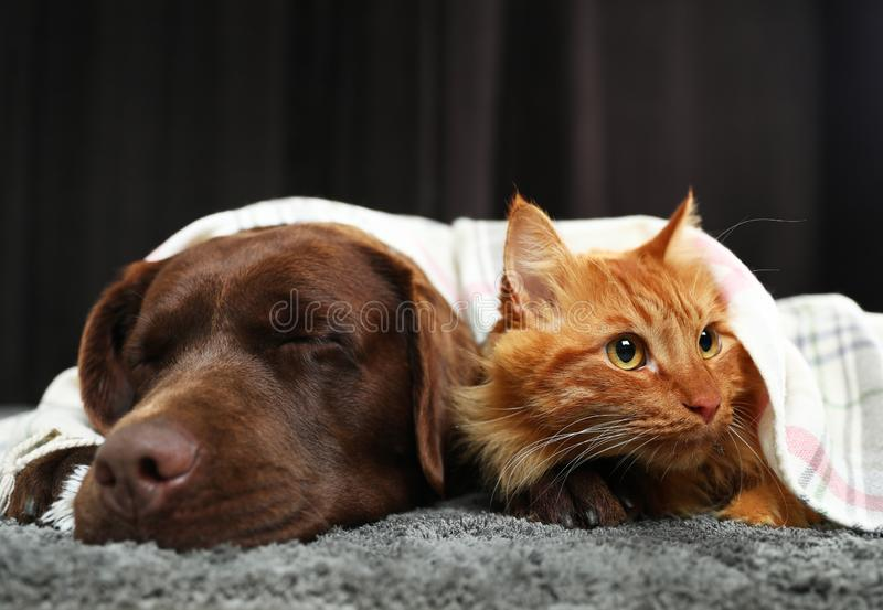 Adorable cat and dog lying under plaid floor. Warm and cozy winter royalty free stock images