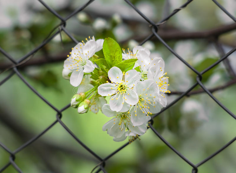 Bunch of cherry blossoms on the background mesh-netting. Bunch of cherry blossoms in spring garden close up on the background mesh-netting stock photography