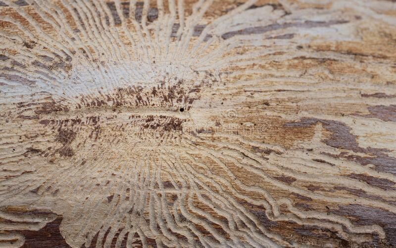 Close-up and background of a weathered log without bark, on which decorative traces of the wooden beetle can be seen. In Germany royalty free stock images
