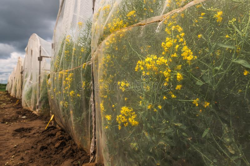 Oilseed rape growth in protective mesh netting greenhouse. With controlled insect pollination royalty free stock photography