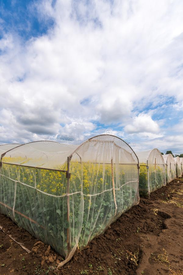 Oilseed rape growth in protective mesh netting greenhouse. With controlled insect pollination stock image