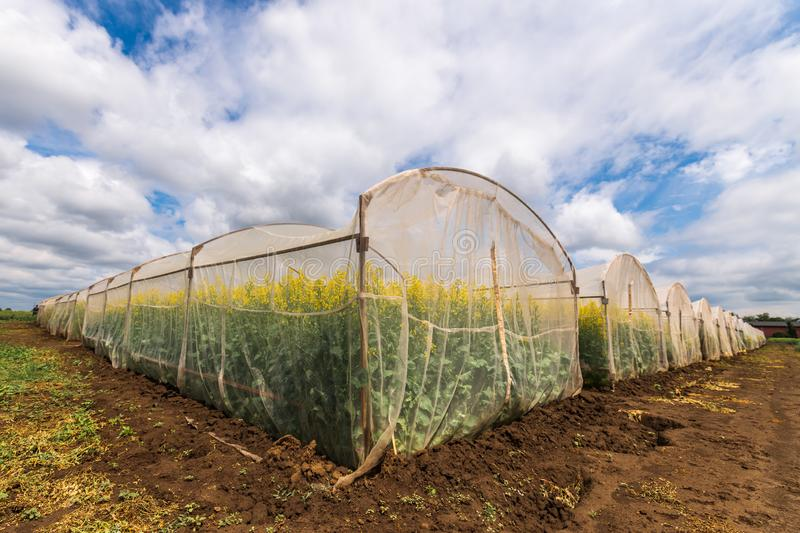 Oilseed rape growth in protective mesh netting greenhouse. With controlled insect pollination stock images