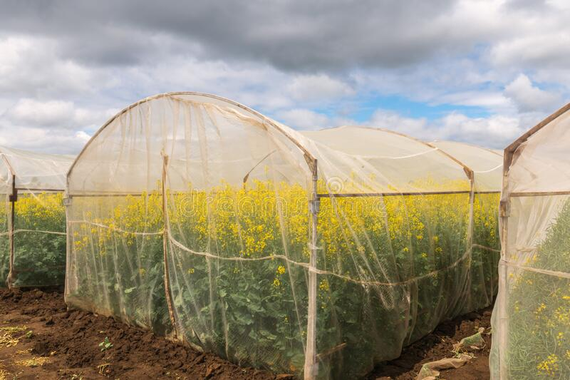 Oilseed rape growth in protective mesh netting greenhouse. With controlled insect pollination royalty free stock images