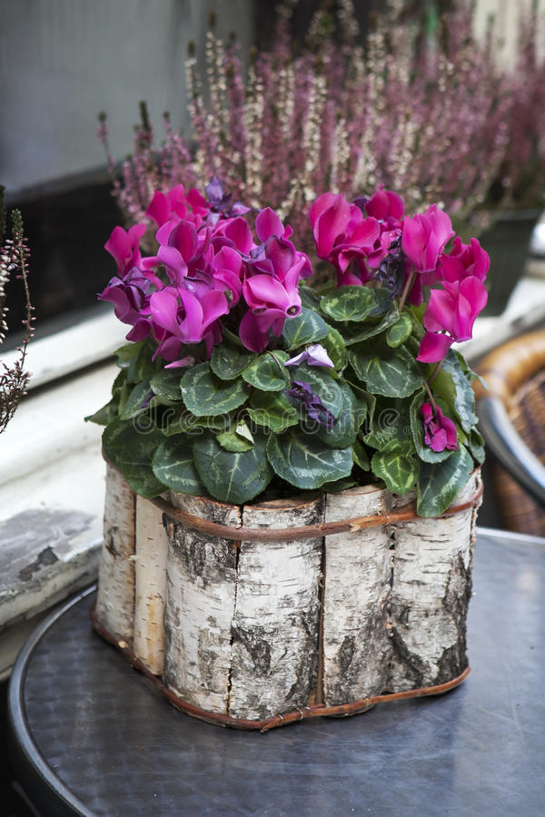 Pink cyclamen in a pot birch bark packaged as a decoration of st. Reet cafe royalty free stock image