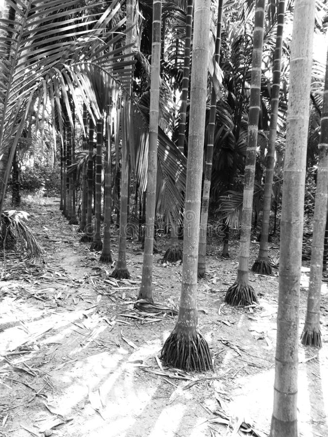 Portrait Symmetrical view of betel nut trees in Black and white royalty free stock photos
