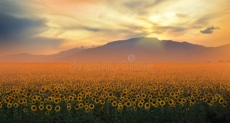 Sunflower Field,Summer Sunset.Beautiful Nature Background.Artistic Wallpaper.Art Photography.Summer Landscape.Sky,clouds,sun. stock photography