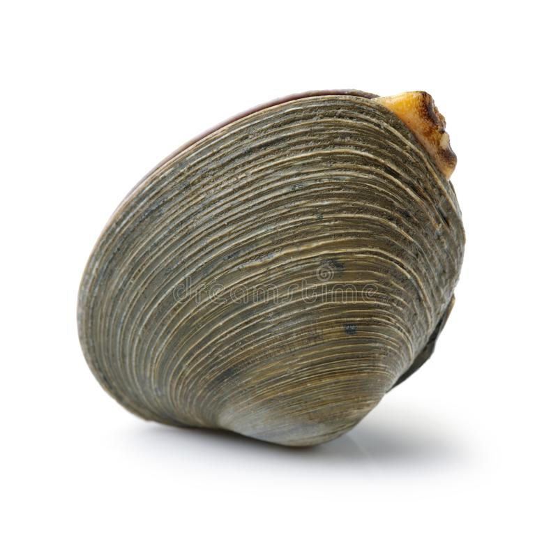 Symmetrical side view of a large quahog against royalty free stock image