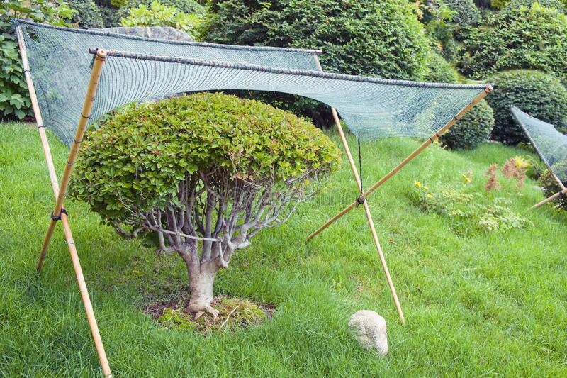 Textile shading netting mesh over dwarf garden bonsai tree for sun protection and weather protective in japanese garden. Textile shading netting mesh over dwarf stock photography