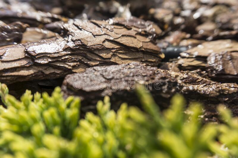 Tree bark for decoration and mulching in landscape design. Tree bark texture macro background close-up. Tree bark for decoration and mulching in landscape royalty free stock image
