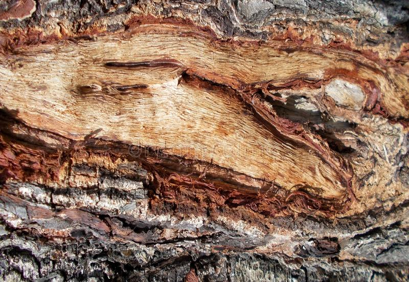 Tree bark texture patterns,wood rind for backgrounds.decoration,cortex. royalty free stock photo
