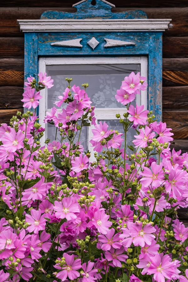 Window with old wood shabby blue platbands in the village house. Mallow bush with delicate pink flowers royalty free stock images